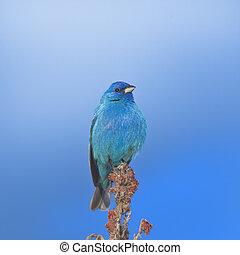 ontario , πουλί , τραγούδι
