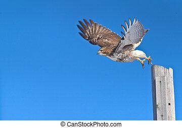 ontario birds - Red-tailed hawk in flight, chasing a prey....