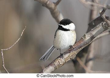 ontario, black-capped, -, chickadee, magnífico, curva