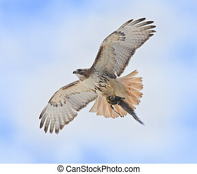 ontario raptors - Red-tailed Hawk with catch rushing to nest...