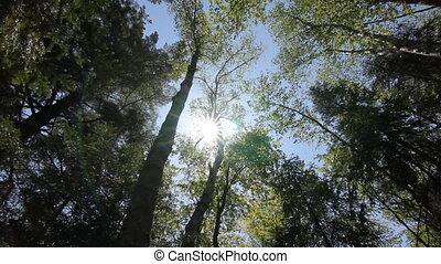 Ontario summer forest. - Sun shining through branches of...