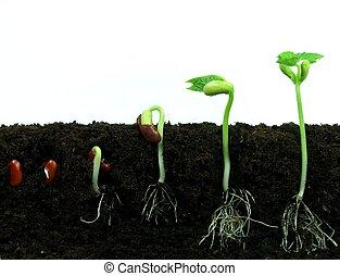 ontkiemen, terrein, boon, zaden