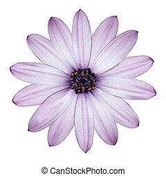 ontsteken purper, madeliefje, -osteospermum, bloem hoofd, vrijstaand, op wit
