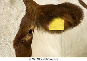 oog, cow's
