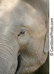 oog, van, de, elefant