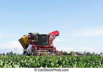oogsten, bieten, suiker
