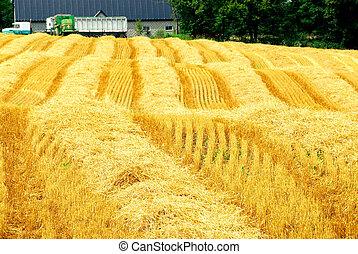 oogsten, boer veld