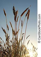 oogsten, insect, voor, tarwe, oor