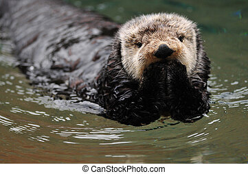 Oops I did it again - Very cute arctic tundra sea otter...