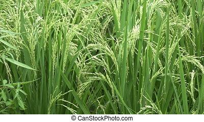 oor, van, rijst, het slingeren, in, de, wind., close-up