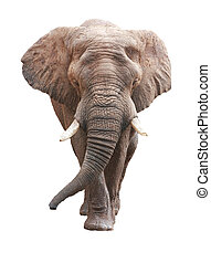 op, afrikaan, groot, elefant, wit mannelijk