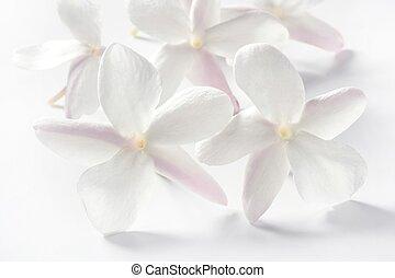 op, bloemen, jasmijn, witte achtergrond