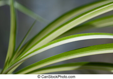op, flora, chlorophytum., chlorophytum, illustratie, ...