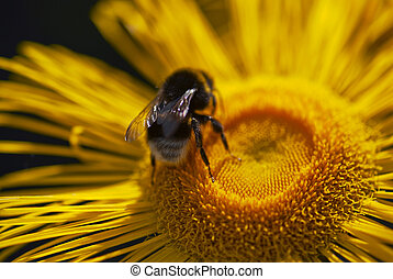 op, gele, tussenverdieping, madeliefje, afsluiten, bumble-bee