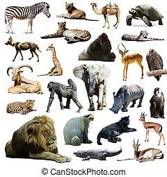 op, vrijstaand, animals., leeuw, anderen, afrikaan, witte
