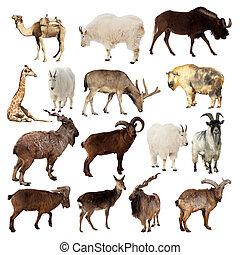 op, vrijstaand, artiodactyla, set, animals., witte