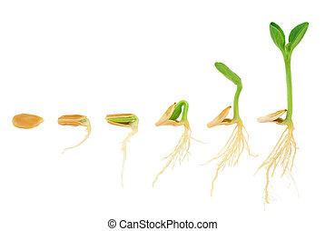 opeenvolging, van, pompoen plant, groeiende, vrijstaand,...