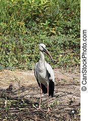 Open-billed stork, Asian openbill on the ground.