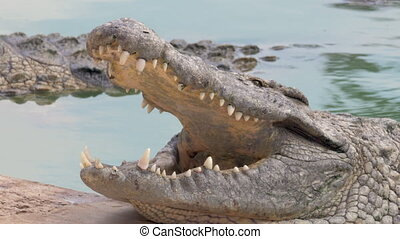 Open jaws of large crocodile in water - Close-up shot of...
