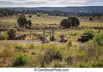 Open Range Longhorn Cattle