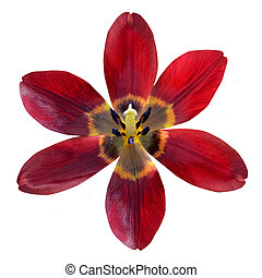Open Red Lily Flower Isolated on White Background