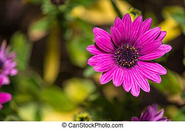 open, viooltje, madeliefje, bloem, closeup