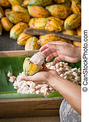 opened raw fresh cocoa pod in hands with beans inside.