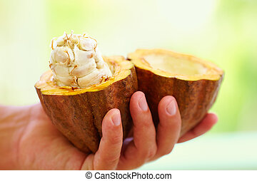 opened raw, fresh cocoa pod in hands, with beans inside