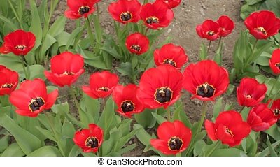 Opened red tulip\'s buds swaying in