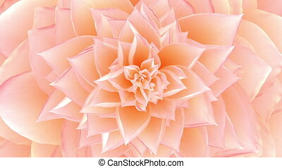 Opening Of The Pink Flower. Looped. 3D Animation.