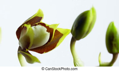 Opening Orchid Flower