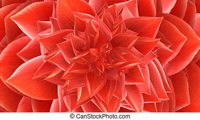 Opening Red Flower. Looped. 3D Animation.