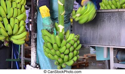 Operator cutting the green banana branches at banana...