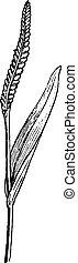 Ophioglossum or Snake Tongue, vintage engraving.