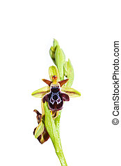 Ophrys ariadnae orchid isolated on white background