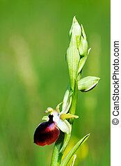 Ophrys helenae in the wilderness of Greece.