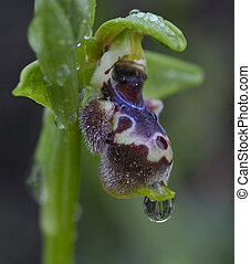 Ophrys, wild orchid flower