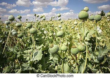 opium, coquelicots
