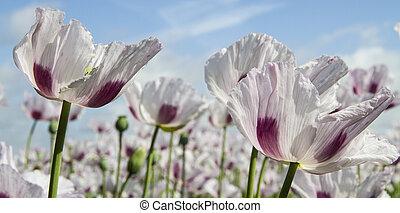 opium, klaproos, papaver, somniferum