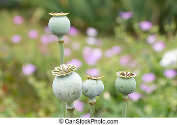 Opium poppy capsules in a garden