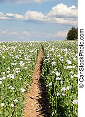 opium poppy papaver somniferum and pathway - field of...