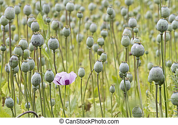 Opium poppy, Papaver somniferum grown for the production of medical opiates