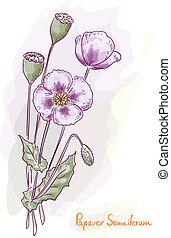 Opium poppy (Papaver somniferum). Watercolor style. Vector...