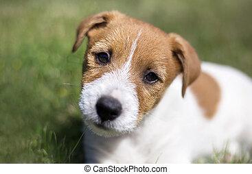 opleiding, russell, aanhalen, -, dog, dommekracht, puppy, terrier, vrolijke