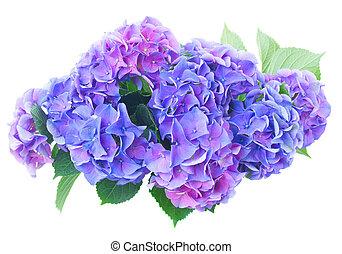 oplzlý květovat, hortensia, fialový