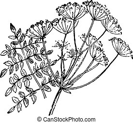 Opopanax chironium or myrrh, vintage engraving.