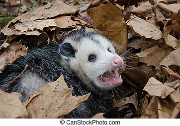 A large Virginai opossum bedded down in leaves and showing its teeth