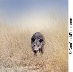 Opossum Walking in the Grass