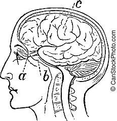 Optic Nerve, vintage engraved illustration. Trousset ...
