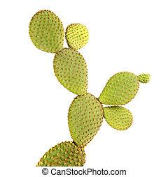 opuntia, blanc, cactus, isolé, fond